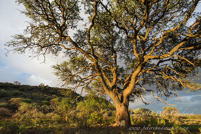 Camel Thorn acacia at dusk by wildlife and conservation photographer Peter Chadwick