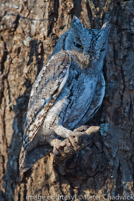 scops owl by wildlife and conservation photographer peter chadwick