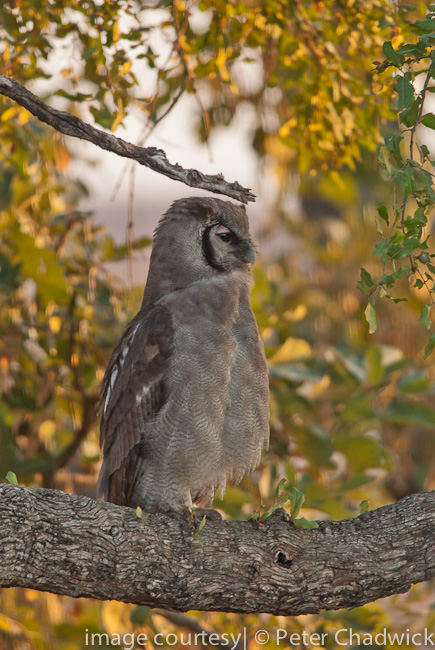 verraux's eagle owl by wildlife and conservation photographer peter chadwick