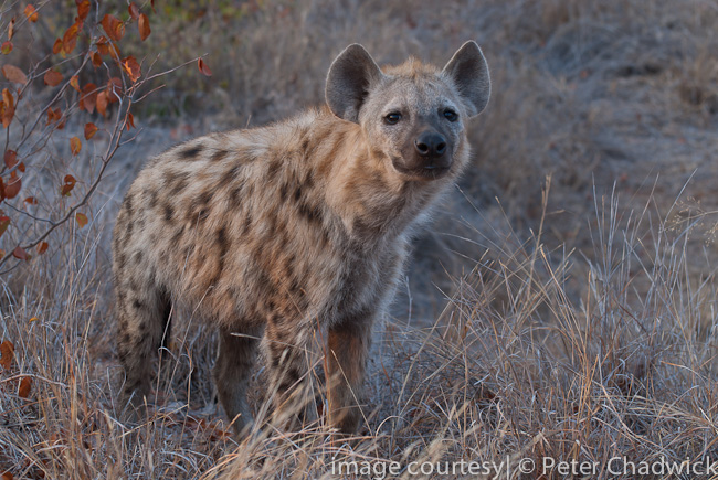 spotted hyaena sniffing the air by wildlife and conservation photographer peter chadwick