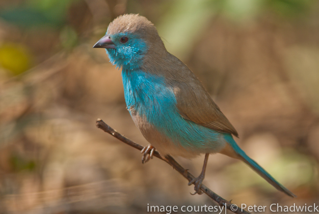 blue waxbill male by wildlife and conservation photographer peter chadwick