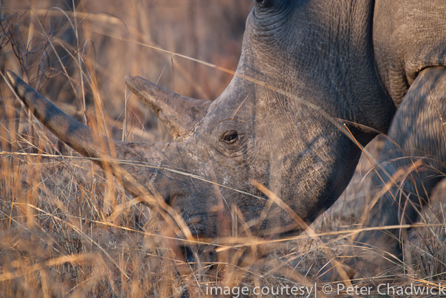 white rhino in long grass by wildlife and conservation photographer peter chadwick