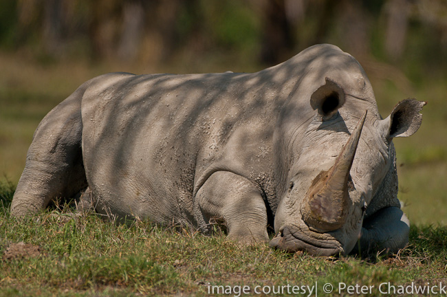 white rhino sleeping nakuru by wildlife and conservation photographer peter chadwick