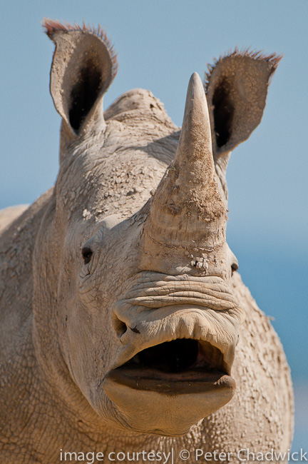white rhino yawning by wildlife and conservation photographer peter chadwick