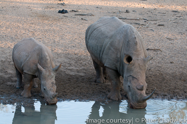 white rhino cow and calf drinking at waterhole by wildlife and conservation photographer peter chadwick