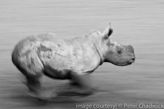 white rhino calf running at speed by wildlife and conservation photographer peter chadwick