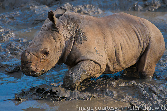 white rhino calf splashing in waterhole by wildlife and conservation photographer peter chadwick