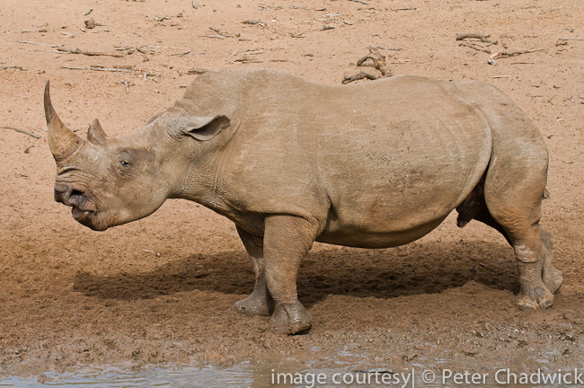 white rhino cow warning off bull from calf by wildlife and conservation photographer peter chadwick