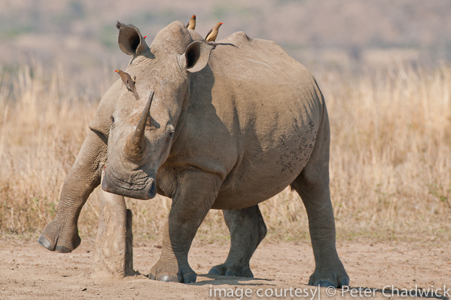 white rhino scratching on rubbing post by wildlife and conservation photographer peter chadwick