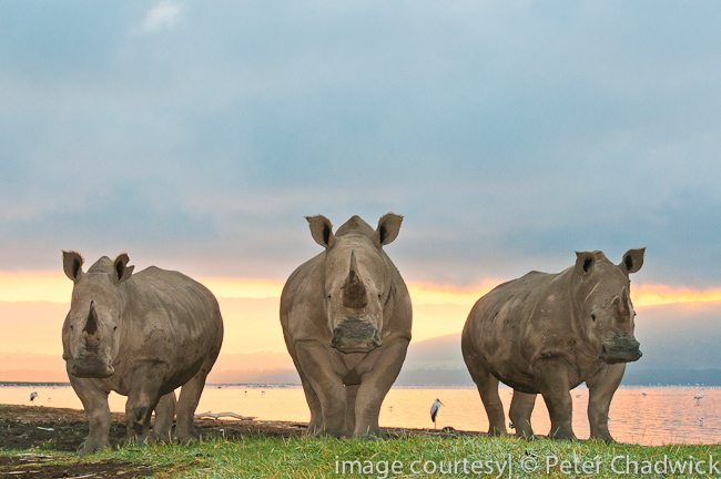 white rhino trio by wildlife and conservation photographer peter chadwick