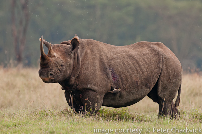 Black rhino in the open by wildlife and conservation photographer peter chadwick
