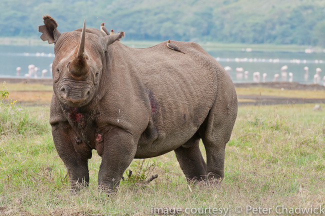 Black Rhino bull by wildlife and conservation photographer peter chadwick
