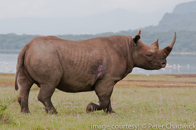 Black rhino at Lake Nakuru National Park by wildlife and conservation photographer peter chadwick