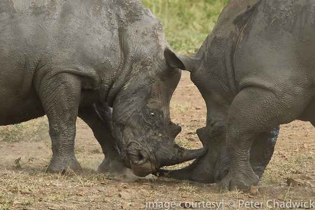 White Rhino bulls sparring by wildlife and conservation photographer peter chadwick