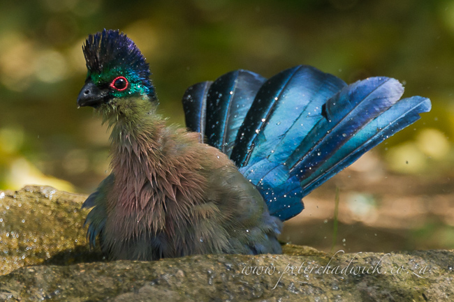Bathing purple crested turaco by wildlife and conservation photographer Peter Chadwick