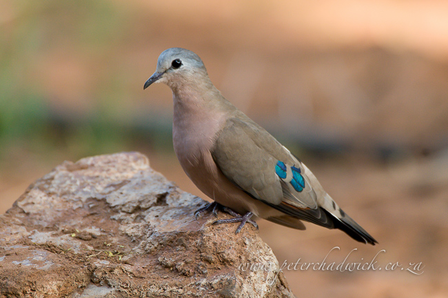 emerald spotted wood dove by wildlife and conservation photographer Peter Chadwick