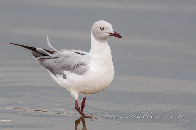 Grey Headed Gull by wildlife and conservation photographer Peter Chadwick