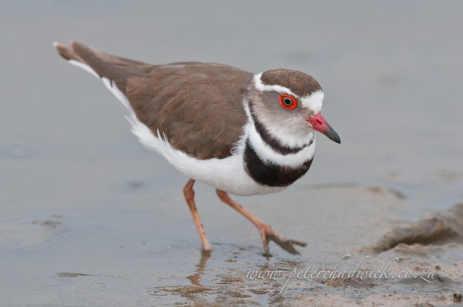 Three Banded Plover by wildlife and conservation photographer Peter Chadwick