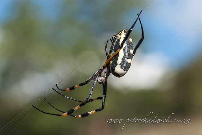 Golden orb spider female by wildlife and conservation photographer Peter Chadwick