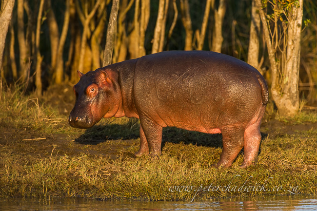 Hippo by wildlife and conservation photographer Peter Chadwick