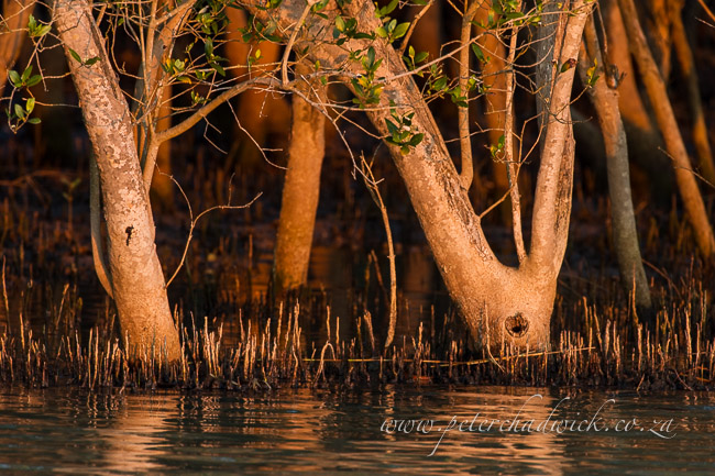 Mangrove trees by wildlife and conservation photographer Peter Chadwick