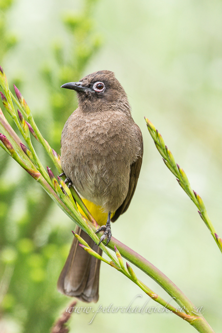 Cape Bulbul by wildlife and conservation photographer peter chadwick