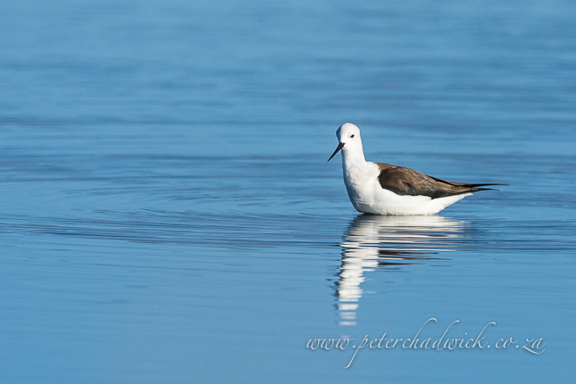 black winged stilt by wildlife and conservation photographer peter chadwick