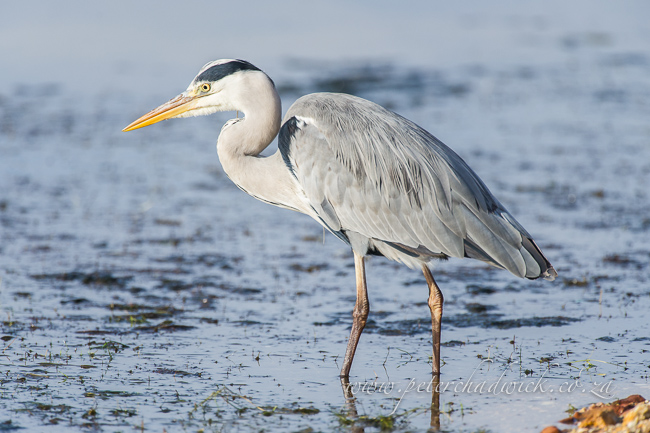 Grey heron by wildlife and conservation photographer peter chadwick