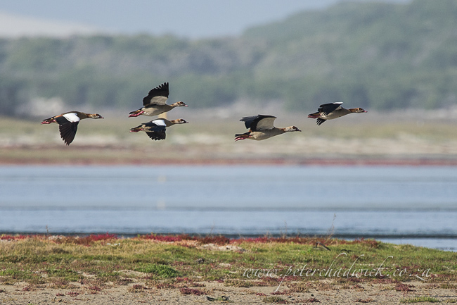 egyptian geese by wildlife and conservation photographer peter chadwick