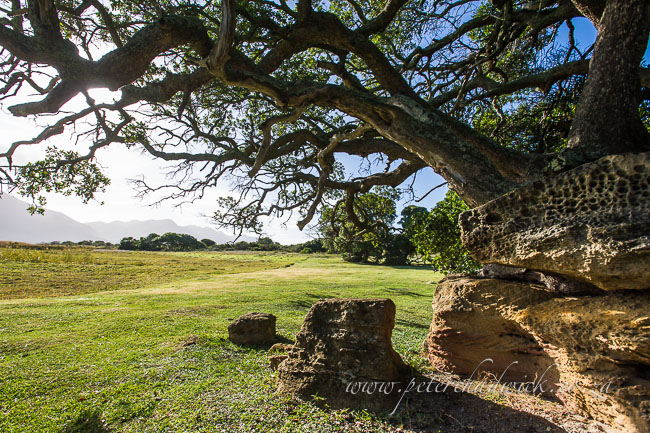milkwood tree by wildlife and conservation photographer peter chadwick