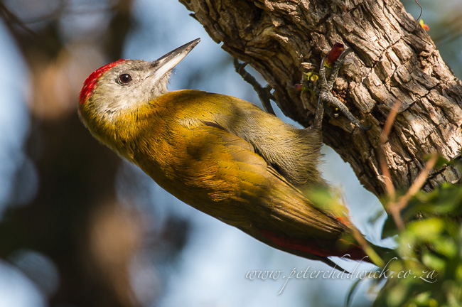 Olive woodpecker by wildlife and conservation photographer peter chadwick