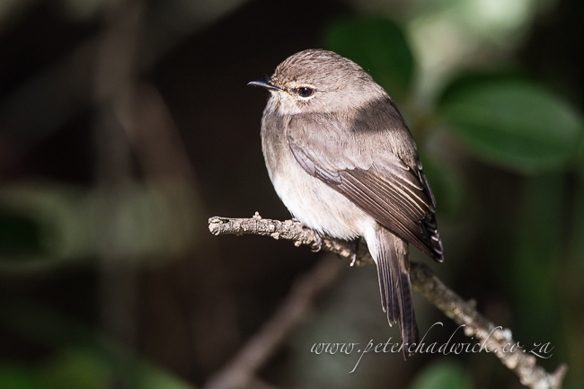 dusky flycatcher by wildlife and conservation photographer peter chadwick