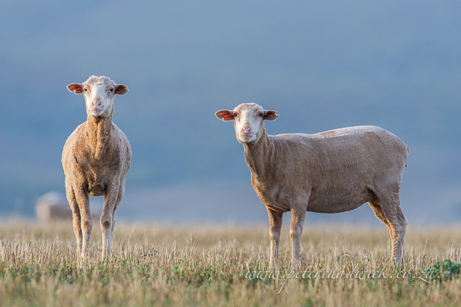 Merino sheep by wildlife and conservation photographer peter chadwick