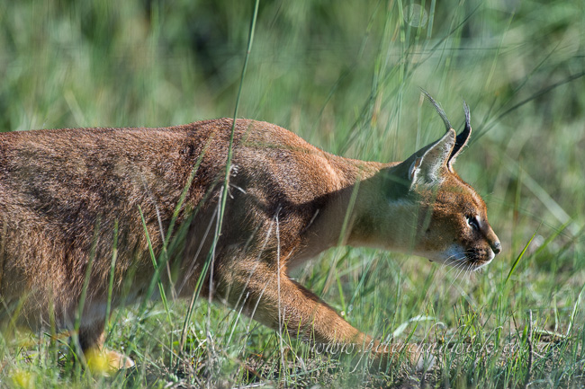 Caracal by wildlife and conservation photographer peter chadwick
