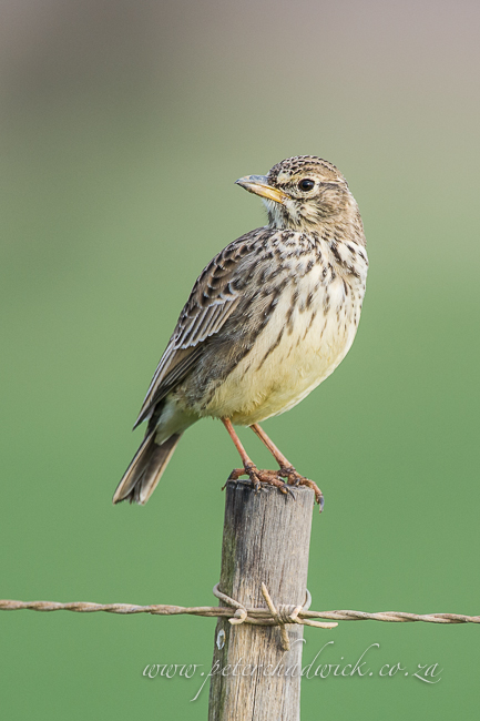 Large Billed Lark by wildlife and conservation photographer peter chadwick