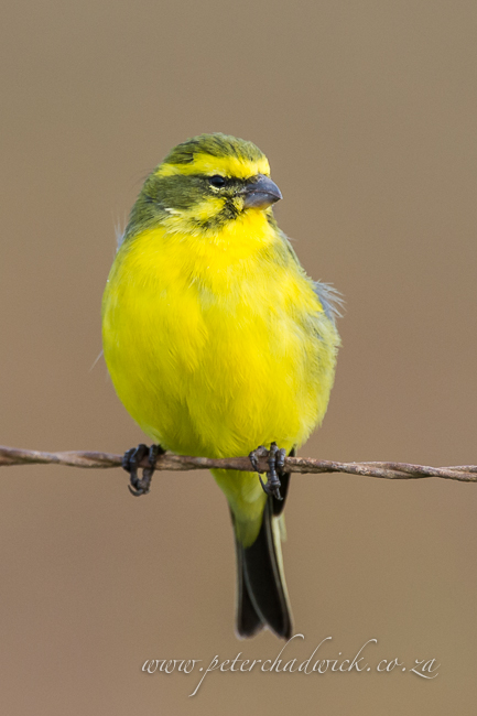 yellow Canary by wildlife and conservation photographer peter chadwick