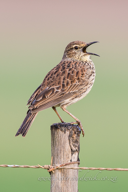 Agulhas Long billed lark by wildlife and conservation photographer peter chadwick