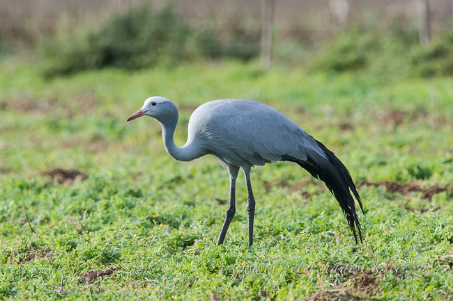 Blue crane by wildlife and conservation photographer peter chadwick