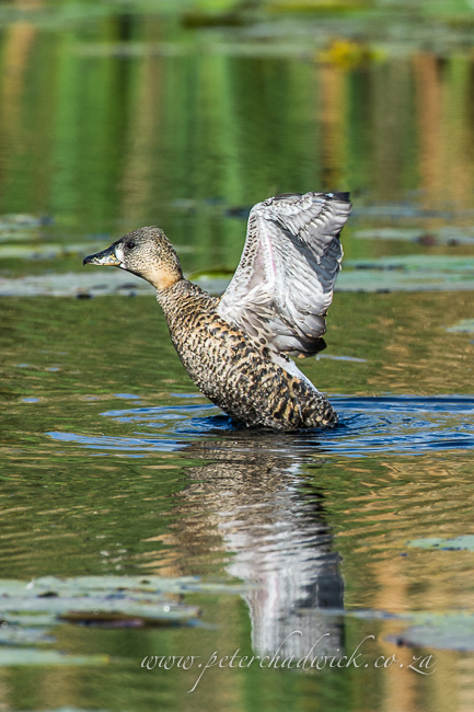 White backed duck by wildlife and conservation photographer peter chadwick