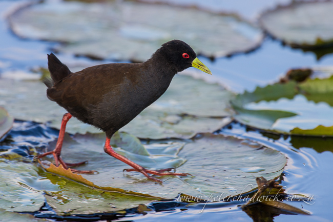 3 African Black Crake by wildlife and conservation photographer peter chadwick