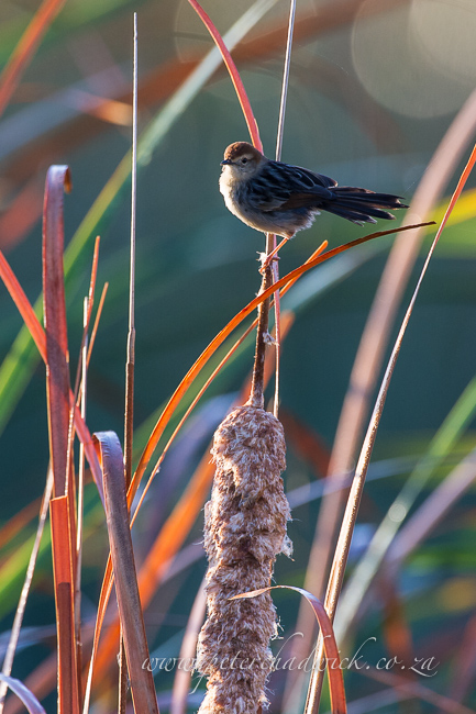 Le valliants cisticola by wildlife and conservation photographer peter chadwick