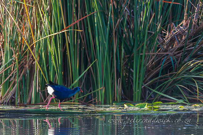 purple swamphen by wildlife and conservation photographer peter chadwick