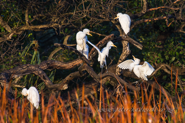 Cattle Egret roost by wildlife and conservation photographer peter chadwick