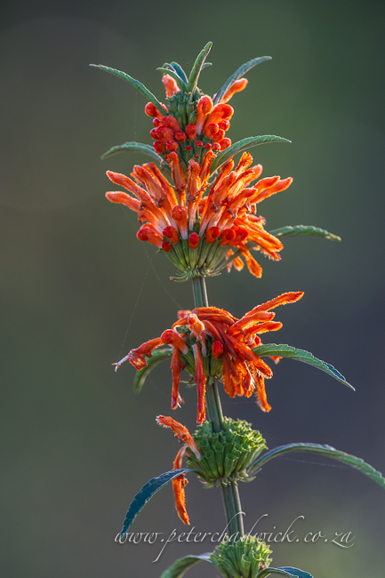 Wild Dagga flowers by wildlife and conservation photographer peter chadwick