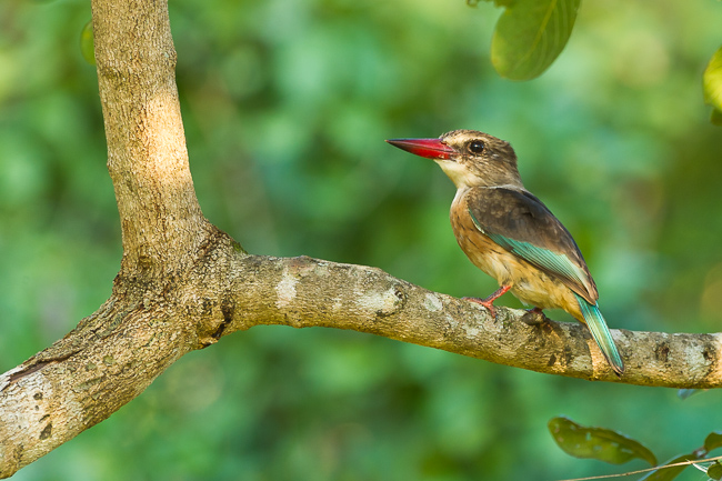 Brown hooded kingfisher - photo#46