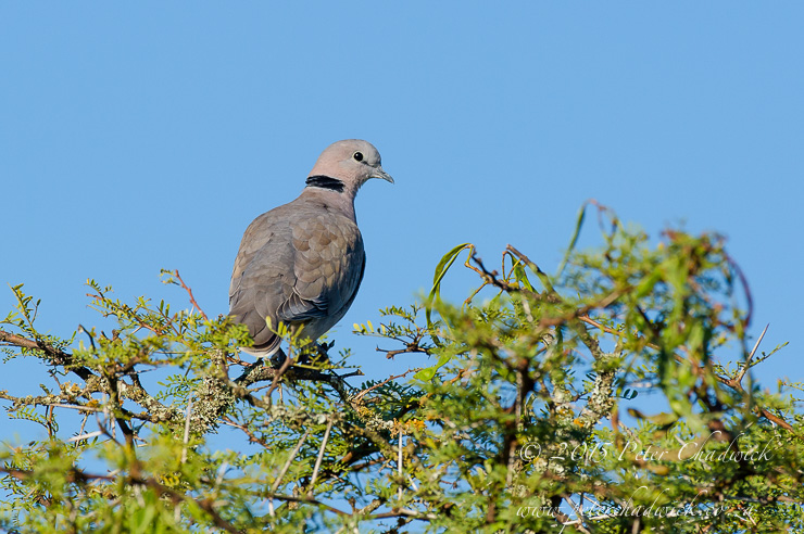 Cape Turtle Dove_PeterChadwick_AfricanConservationPhotographer