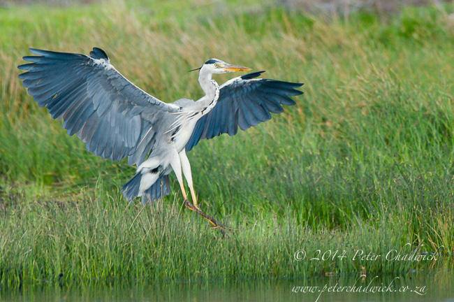 Grey Heron Landing by wildlife and conservation photographer Peter Chadwick