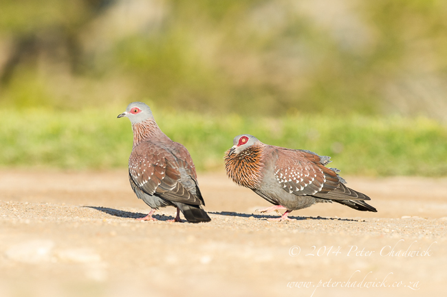 Speckled Pigeons by wildlife and conservation photographer Peter Chadwick