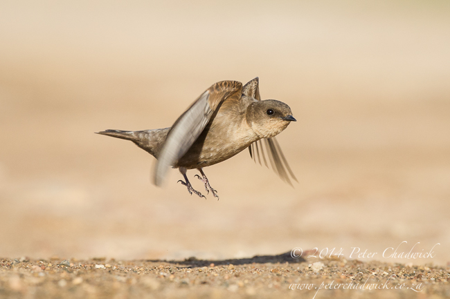 Rock Martin by wildlife and conservation photographer Peter Chadwick