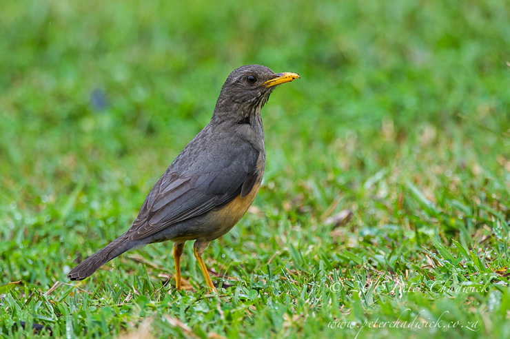 Olive Thrush_©peter chadwick_African Conservation Photography